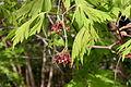 Acer japonicum flowers 001.JPG