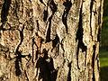 Acer obtusatum (33).JPG