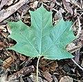 Acer saccharum (sugar maple) 5 (46278880692).jpg