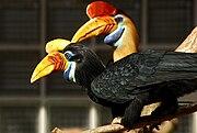 Aceros cassidix -Vogelpark Walsrode -pair-8a.jpg
