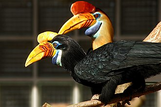 Hornbill - The brightest colours on most hornbills, like this pair of knobbed hornbills, are found on the beaks and bare skin of the face and throat.