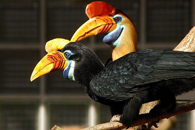 640px-Aceros_cassidix_-Vogelpark_Walsrode_-pair-8a.jpg (640×429)