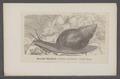Achatina mauritiana - - Print - Iconographia Zoologica - Special Collections University of Amsterdam - UBAINV0274 088 12 0014.tif