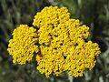 Achilea clypeolata Sibth et Sm. Goldquirlgarbe (Asteraceae)-3F.jpg