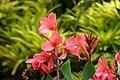 Achira (Canna indica) (14860335182).jpg
