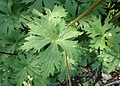 Aconitum napellus subsp. vulgare kz06.jpg