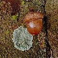 Acorn - Flickr - Stiller Beobachter.jpg