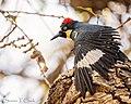 Acorn Woodpecker (50758809801).jpg