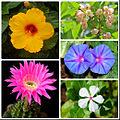 Actinomorphous flowers.jpg