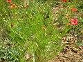 Adonis aestivalis plant (02).jpg