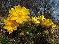 Adonis vernalis (16709095338).jpg
