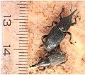 Adult-banana-pseudostem-weevil-Odoiporus-longicollis-OLlarger-weevil-facing-top-right-corner-of-photo-and-adult-banana-w.jpg