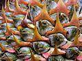 Aechmea multiflora L. B. Sm. - Flickr - Alex Popovkin, Bahia, Brazil (18).jpg