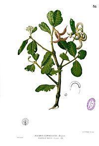 Aegiceras corniculatum Blanco1.38