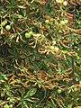 Aesculus hippocastanum - divlji kesten.jpg