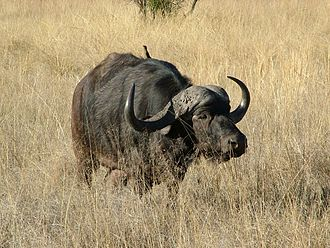 Game (hunting) - An African buffalo bull