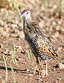 African crake, Crex egregia on the Zaagkuildrift Road near Kgomo Kgomo, Limpopo, South Africa (16282324576).jpg
