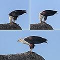 African fish eagle (Haliaeetus vocifer) feeding composite.jpg