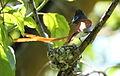 African paradise flycatchers, Terpsiphone viridis, nesting at at Walter Sisulu National Botanical Garden, December 1, 2014 (15756928089).jpg