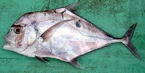 African pompano - Image: African pompano Solomons 2