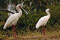 African spoonbills.jpg