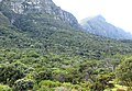 Afromontane forest - Table Mountain - Cape Town.jpg