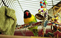 Agapornis personatus -pet in cage with toys-8a.jpg