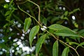 Agarista populifolia, Conservatoire botanique national de Brest 05.jpg