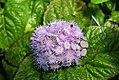 Ageratum houstonianum Blue Puffs 4zz.jpg