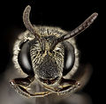 Aglaoapis tridentata, f,face 2014-11-01-23.04.37 ZS PMax (15801817145) (2).jpg