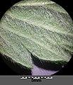Agrimonia eupatoria sl4.jpg