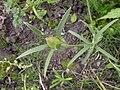 Agrostemma githago fruit 1 AB.jpg