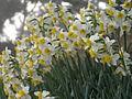 Akashi-Sumiyoshi jinja Narcissus.jpg