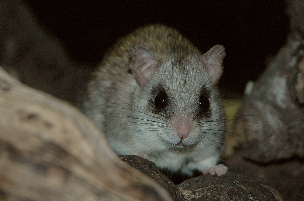 The average litter size of a Acacia rat is 3