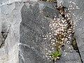 Alaska Saxifrage (ccda5a6af6284e83a5dc2071381ed0cc).JPG