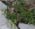 Alchemilla sp. - Flickr - S. Rae.jpg