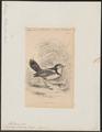 Alectrurus tricolor - 1838 - Print - Iconographia Zoologica - Special Collections University of Amsterdam - UBA01 IZ16500229.tif