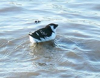 Little auk - Little auk in winter plumage