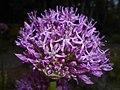 Allium aflatunense 2016-05-17 0729.jpg