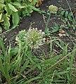 Allium nutans inflorescence.JPG