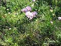 Allium roseum habito.jpg