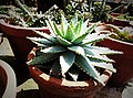 Aloe brevifolia in pot by Sankar.jpg