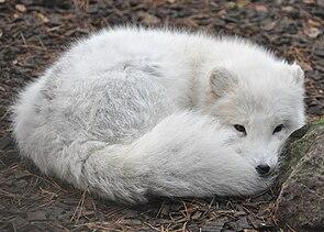 Polarfuchs im Winterfell