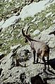 Alpes-Maritimes Saint-Martin-Vesubie Baisse Du Lac Autier Bouquetin - panoramio (6).jpg