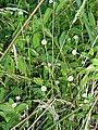 Alternanthera philoxeroides (C.Martius) Griseb. (AM AK301432-1).jpg