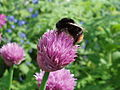 Amandabhslater - Red-Tailed Bumble Bee (by-sa).jpg