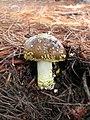 Amanita franchetii 56994.jpg