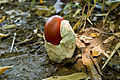 Amanita hemibapha 05.jpg