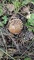 Amanita pantherina 95001234.jpg