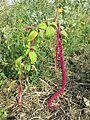 Amaranthus caudatus sl4.jpg
